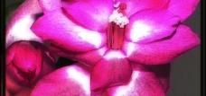 Christmas cactus-jpg.com